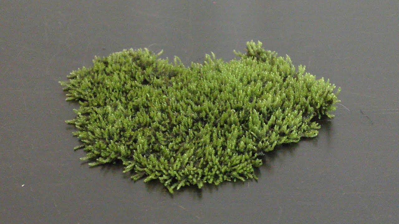 Growing Land Moss In Aquarium Youtube