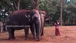 ആറേക്കറില്? ക്ഷേത്രയാനകളുടെ സുഖചികിത്സ| Rejuvenation camp for elephants in Mettupalayam