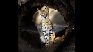 Методы приручения Сервала.Methods of domestication of the Serval.