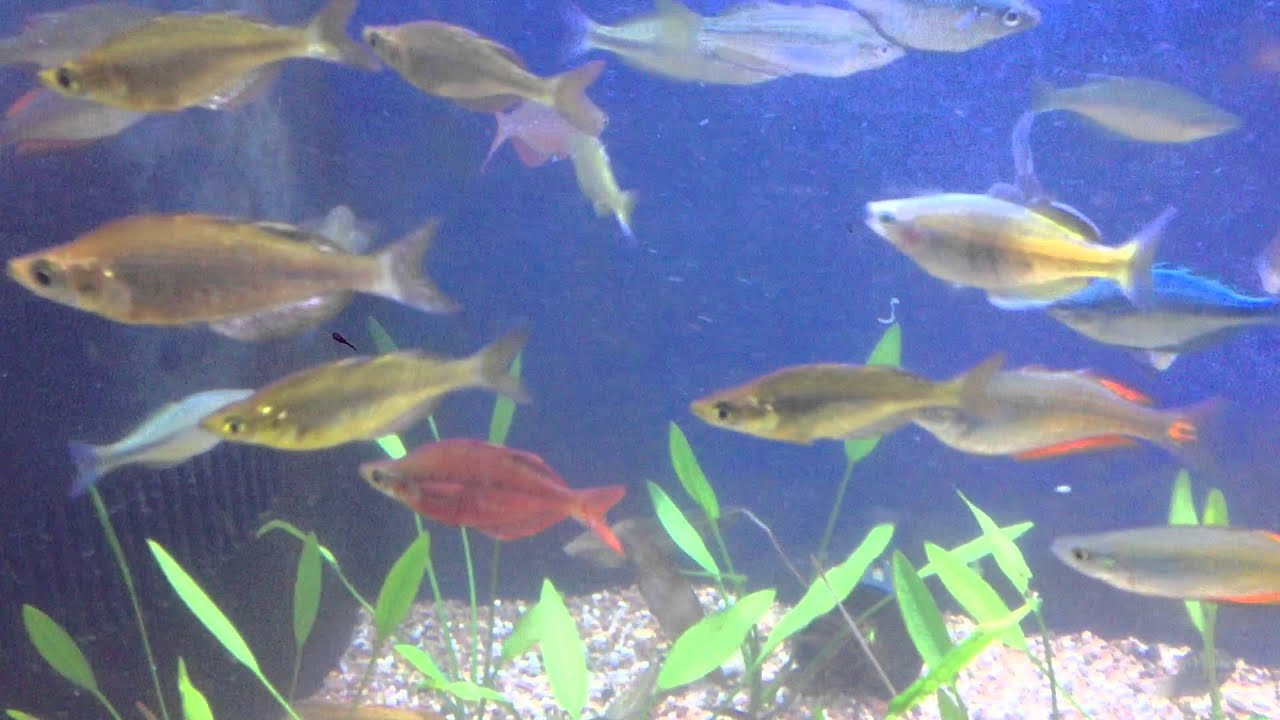 all about rainbowfish gerber 39 s tropical fish youtube