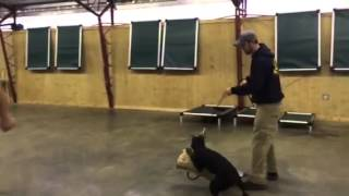 """Doberman Female """"spar"""" Protection Obedience Trained For Sale"""