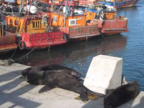 Sea Lions at the Port, MDP, Argentina