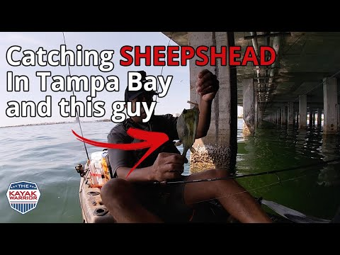 Kayak Fishing For Sheepshead In Tampa Bay