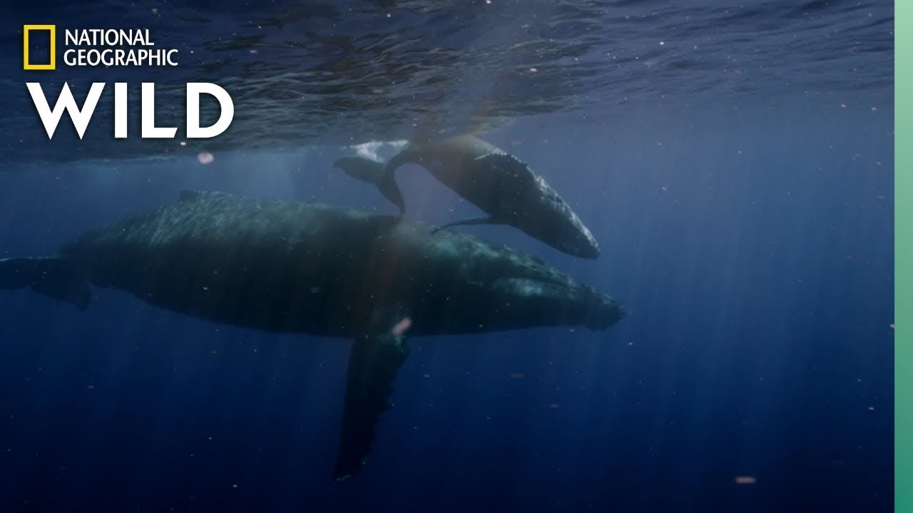 Humpback Whales Arrive in Hawaii For Mating Season | Nat Geo Wild