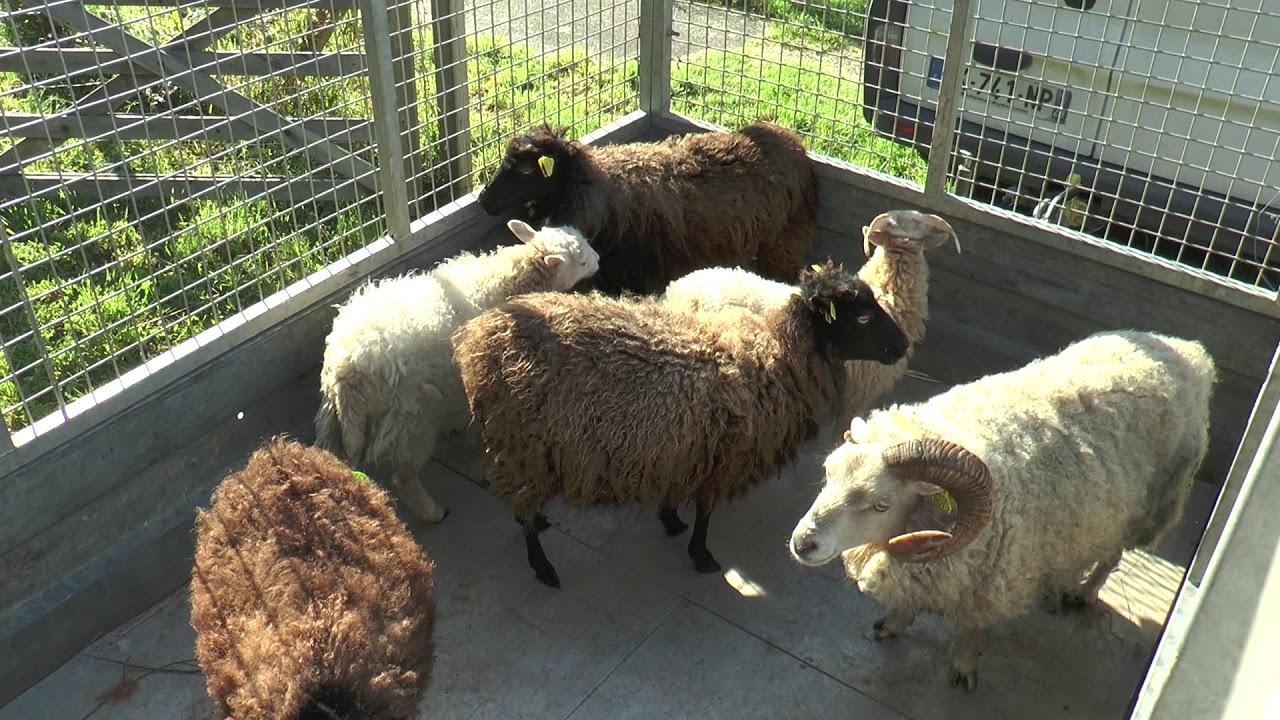 Canal de Nantes à Brest: Chantier d'insertion et tonte de moutons