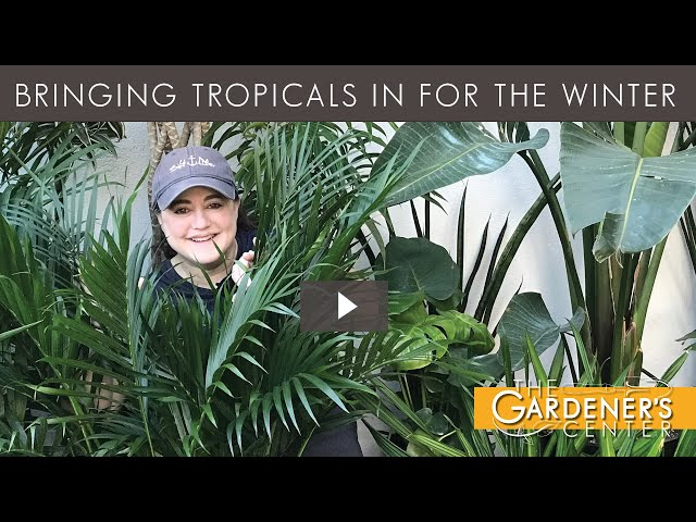 10/9/2020 Bringing Tropicals In for the Winter with Joy