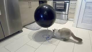 Cat Pops Balloon for Couple's Gender Reveal 1050079