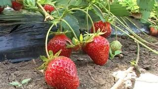 Proizvodnja jagoda u smederevskom kraju - U nasem ataru 332