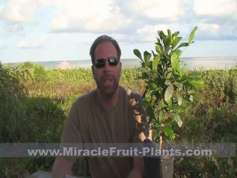 Download MiracleFruit-Plants.com  The Miracle fruit, History, Uses, Cultivation and Fun Facts