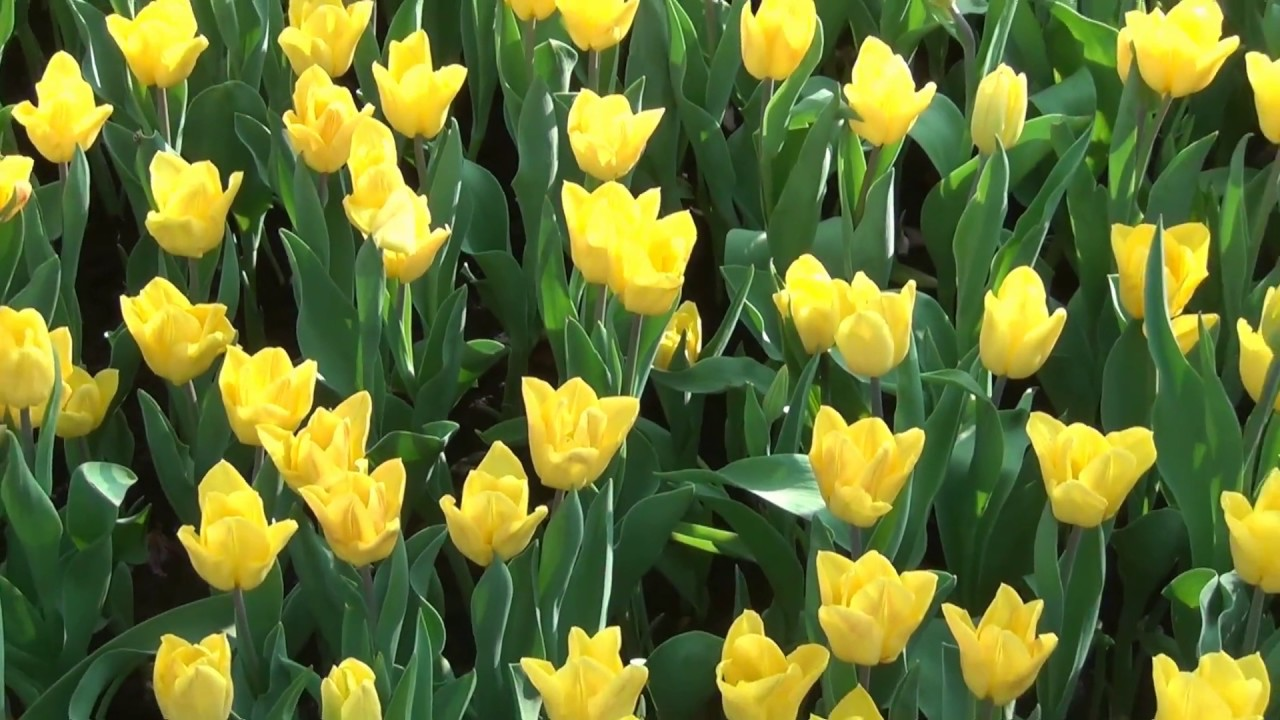 Yellow tulips free hd stock footage no copyright easter yellow tulips free hd stock footage no copyright easter flowers mightylinksfo