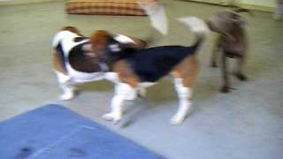 Elvis (basset Hound) And Yogi (beagle) At All About Paws