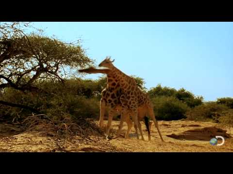 Thumbnail: Giraffes Fighting to Dubstep