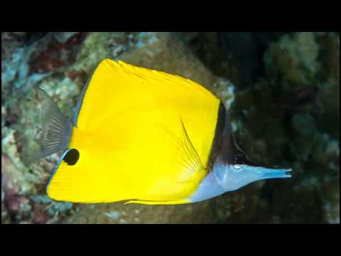 Facts: The Yellow Longnose Butterflyfish