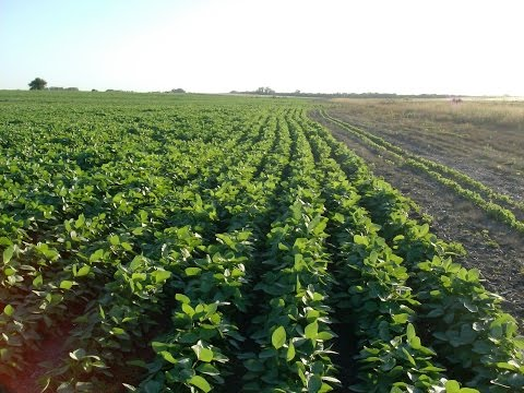 Cómo Cultivar Soya - Soja -  Soybean - TvAgro por Juan Gonzalo Angel