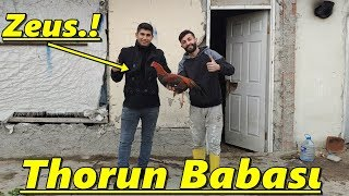 Thorun Sahibinin Kümesi.Mehmet Kardeşimin Hint Horozu./Tekirdağ/Süleymanpaşa