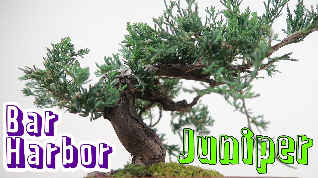 Bar Harbor Juniper Juniperus Horizontalis Initial Root Branch Reductions Youtube
