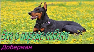 Доберман описание породы! Все о породе собаки!