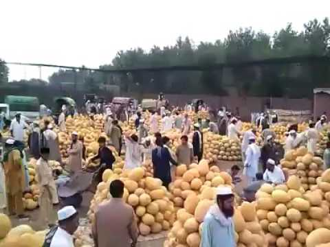 Giant mangoes in Pakistan, The mangoes are named like ANWAR RATOL, BADAMI, CHAUNSA are very popular