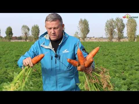 Абако F1  - гибрид ранней моркови от компании Seminis