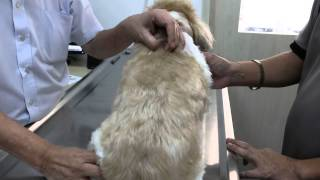 A 13-year-old Shih Tzu Has Kidney And Bladder Stones