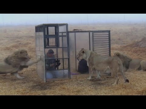 Venture Into Cage Surrounded By Lions