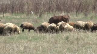 Կեղծ փողերով գառ ու ոչխար ձեռք բերողների «հաղթարշավը» կասեցվեց