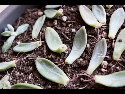 How To Propagate Succulent Leaves Growth Update You