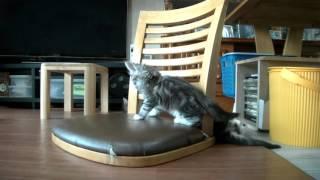 ピーター君とマリーちゃん、メインクーンの兄妹子猫!