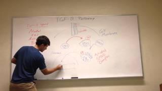 TGF-B Signaling Pathway