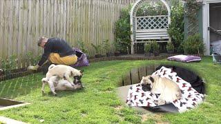 Pugs 'Help' In The Garden ..
