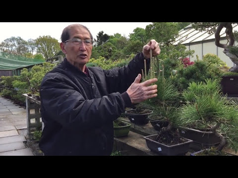 How to prune your evergreen pine bonsai tree EASY!