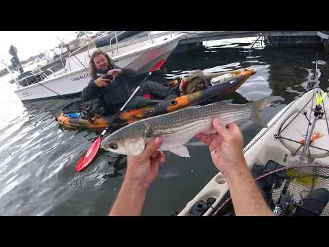 Mullet Madness Kayak Fishing Christchurch Harbour