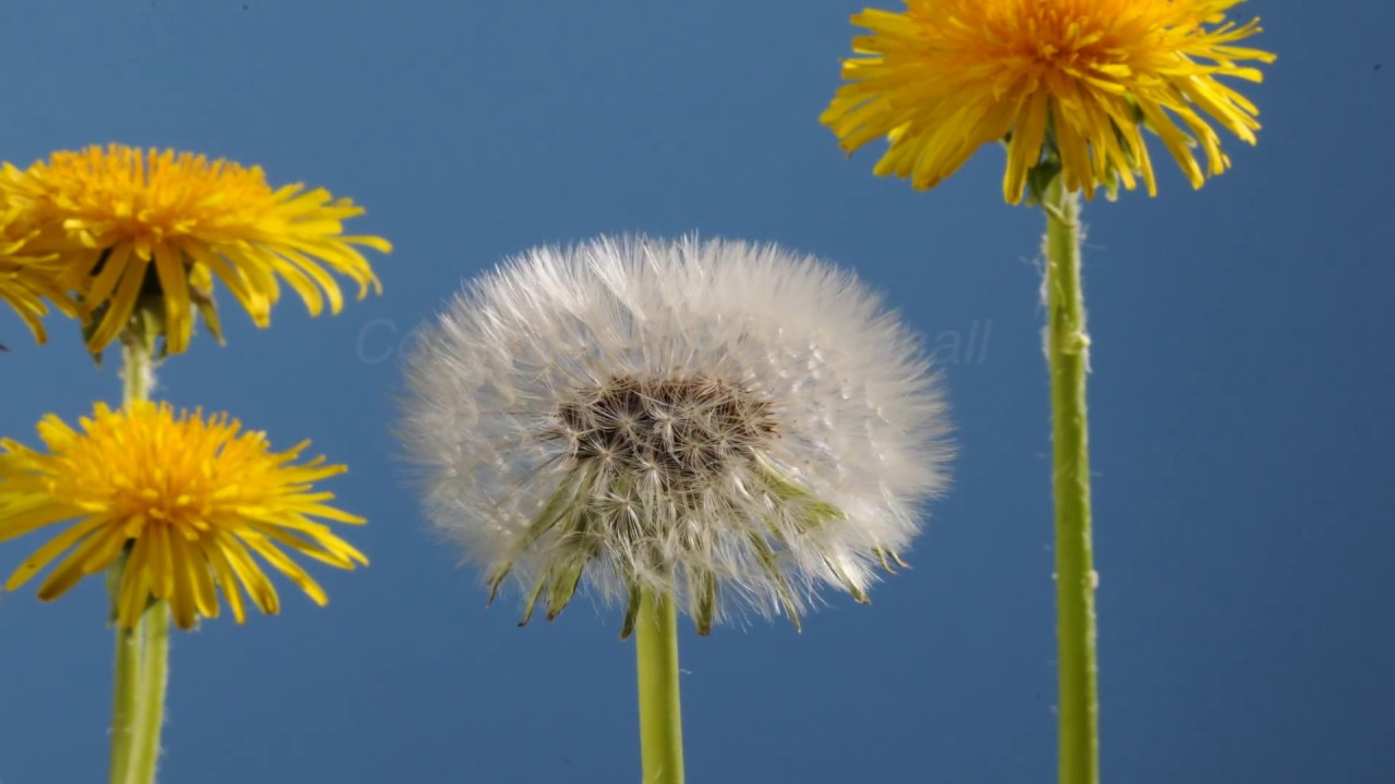 dandelion flower to clock blowing away time lapse - youtube