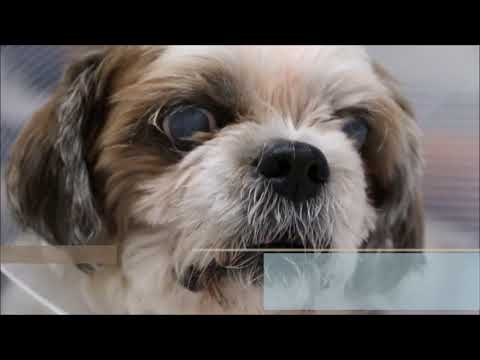 Final Video: An Old Emaciated Shih Tzu Stopped Eating For 3 Days