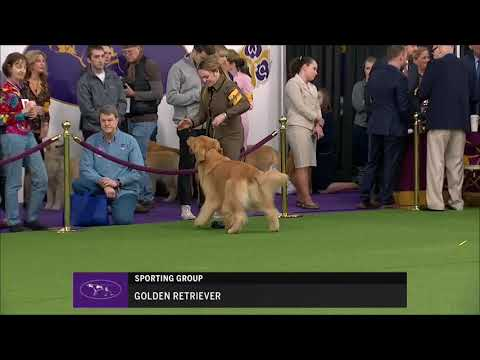 Retrievers (Golden) Breed Judging at Westminster dog show