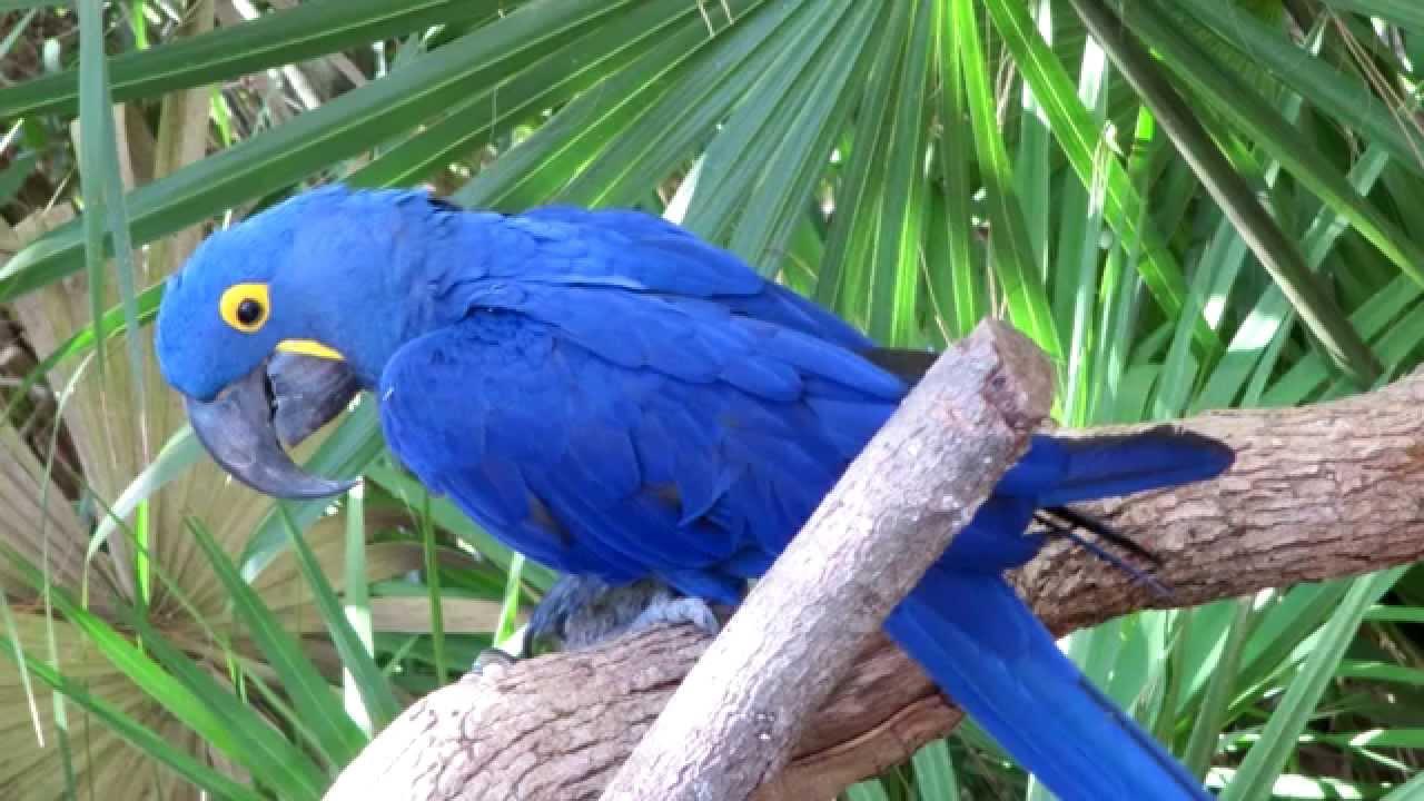 Blue macaws in rio - photo#18