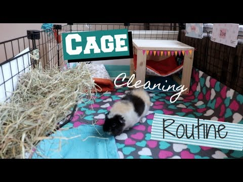 Guinea Pig Cage Cleaning Routine!