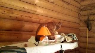 Кот нашёл сметану