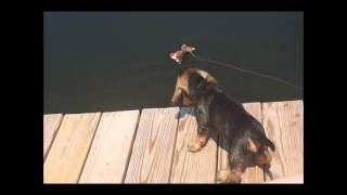 Eight-week-old Wirehaired Dachshund Puppies Are Having Fun In The Pond