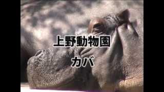 上野動物園西園のカバです.