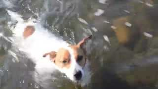 http://www.jacktamao.net Jack Russell Terrier.