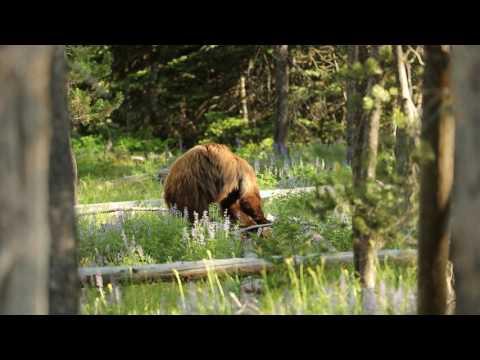 Yellowstone Bear