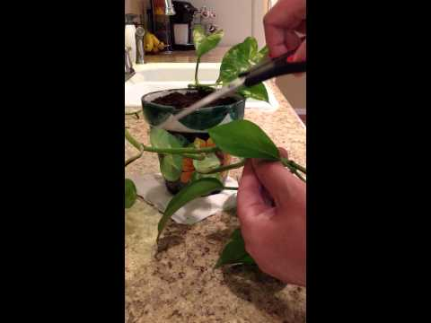 Planting Pothos Ivy Cuttings Youtube
