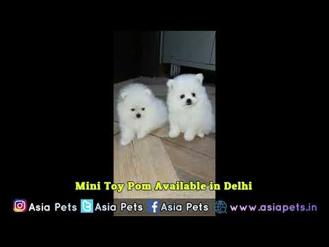 Toy Pom Puppies For Sale | Cheap price in India - 9555944924