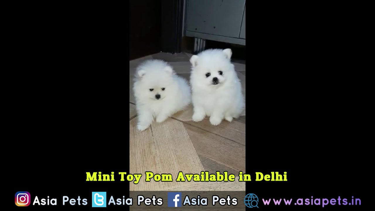 Toy Pom Puppies For Price
