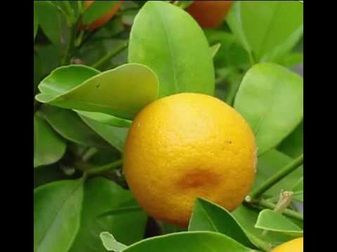 Calamondin Fruit Health Benefits