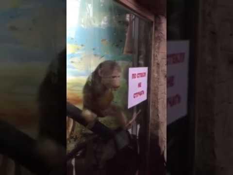31 çeken Maymun