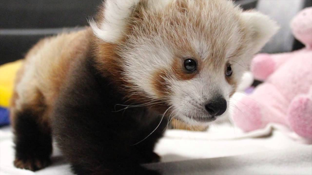 Twin Red Panda Cubs at Lincoln Children's Zoo - YouTube