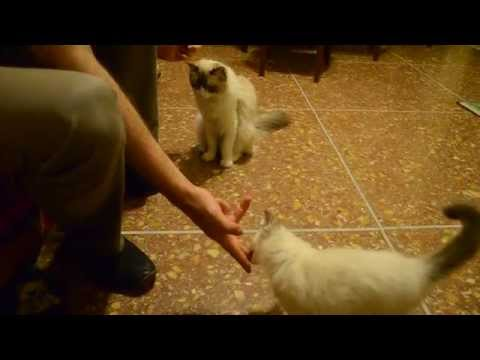 Hercules & Antares and the Cat Clicker Training: Episode XI