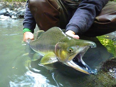 Tenkara Salmon Fishing: Washington State Pink Salmon